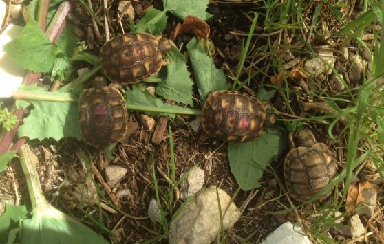 bb tortue de terre - Annonce gratuite marche.fr