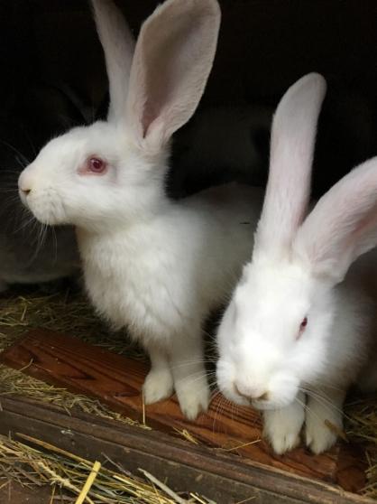 Annonce occasion, vente ou achat 'Vend lapins géants des Flandres'