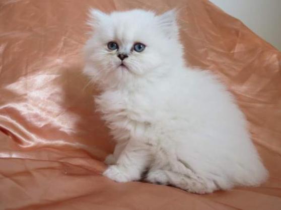 Chaton persan mâle