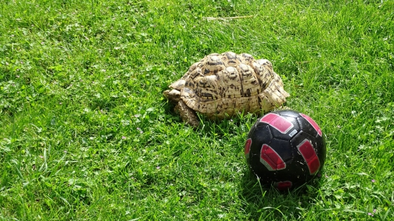 Annonce occasion, vente ou achat 'grosse tortue PARDALIS de 9kg 500'