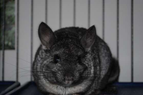 chinchilla+cage