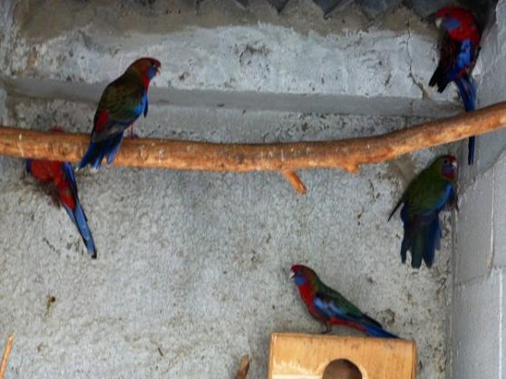 Perruche de pennants rouges animaux oiseaux bourgoin - Location meuble bourgoin jallieu ...