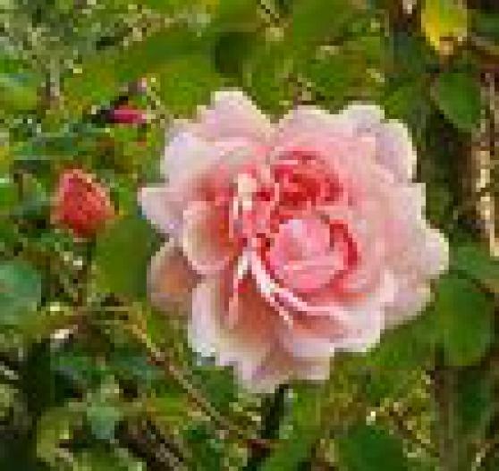 rosiers anciens parfumés - Photo 2