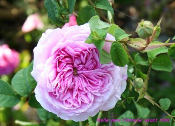 rosiers anciens parfumés - Photo 3
