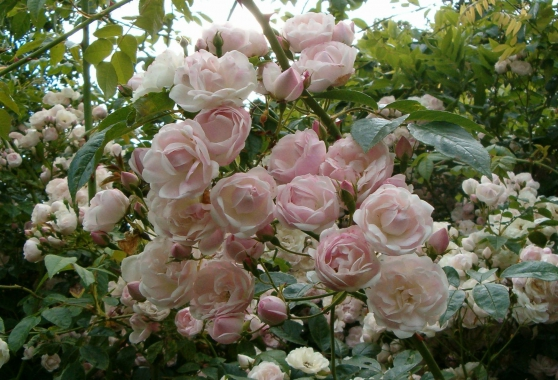 rosiers anciens parfumés - Photo 4