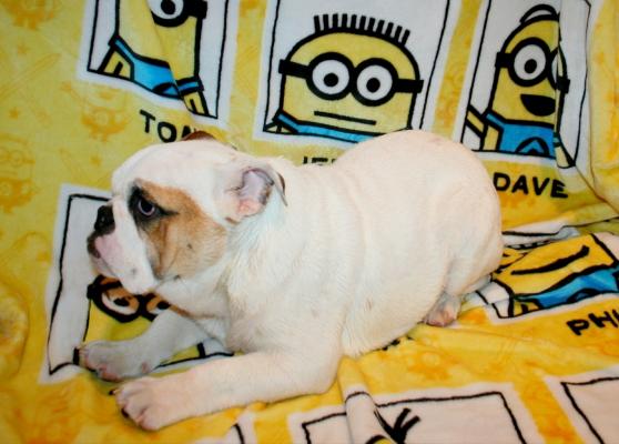 2 chiot Bulldog anglais 5 mois