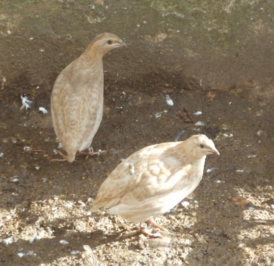 Cailles des blés en mutation Pastel