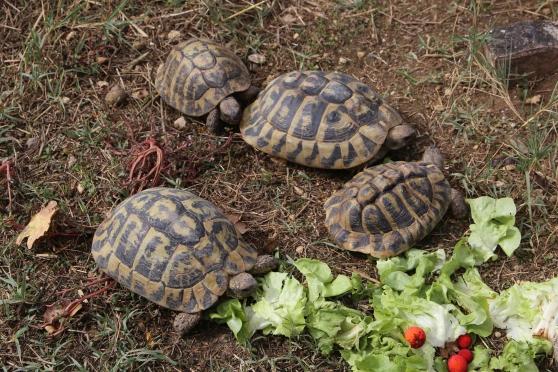 Annonce occasion, vente ou achat 'tortues de terre adultes reproducteurs'