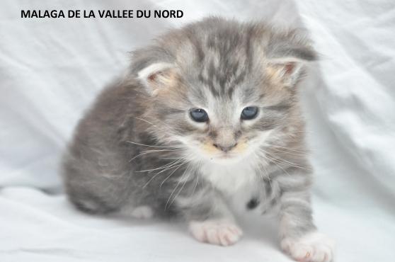 chaton maine coon loof grand gabarit - Photo 3