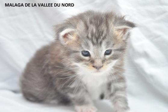 chaton maine coon loof grand gabarit - Photo 4