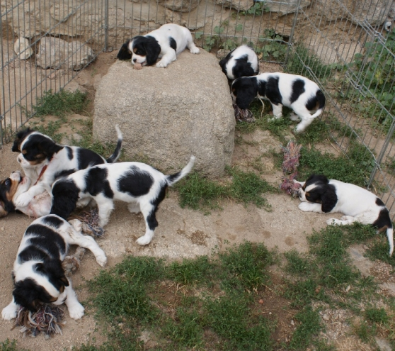A Donner Chiots Cavalier King Charles Marche Fr
