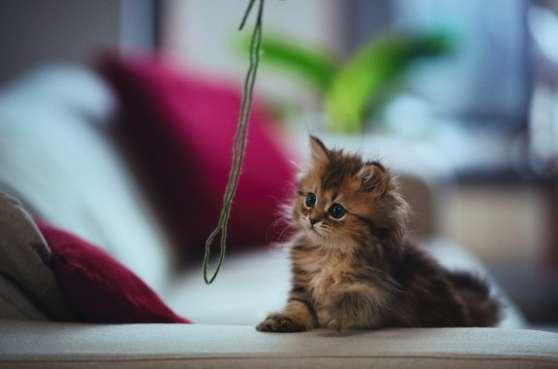 Magnifique bébé Chat Persan