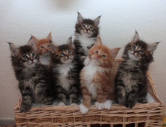 chatons maine coon loof - Annonce gratuite marche.fr