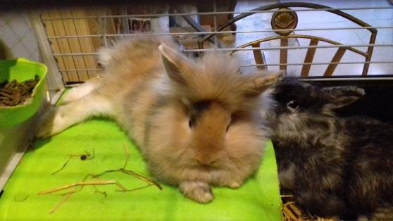 Annonce occasion, vente ou achat 'bébé lapin nain'