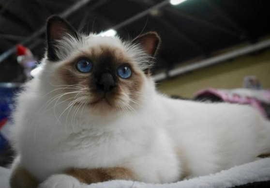 Annonce occasion, vente ou achat 'Chaton male LOOF'