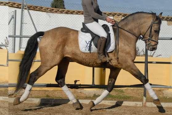 cheval espagnol isabelle a vendre