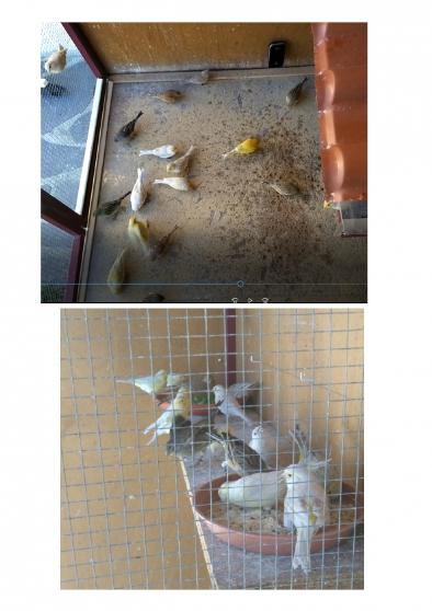 18 canaris : 12 mâles et 6 femelles