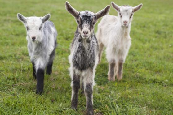 Annonce occasion, vente ou achat 'Boucs castrés de Chèvres des Fossés'
