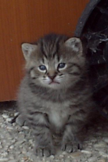 chaton tigrée