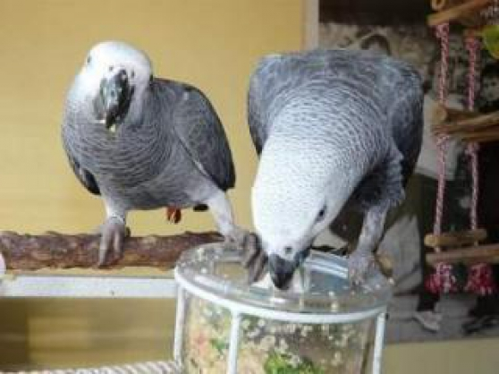 Magnifique couple perroquet gris du Gabo