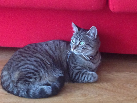 Annonce occasion, vente ou achat 'Donne chat européen tigré - Femelle'