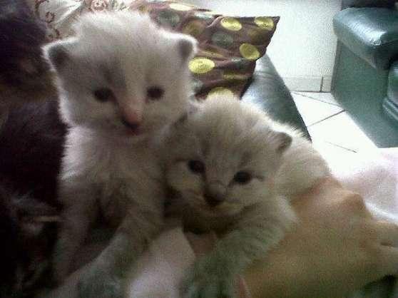 chatons type sacré de birmanie