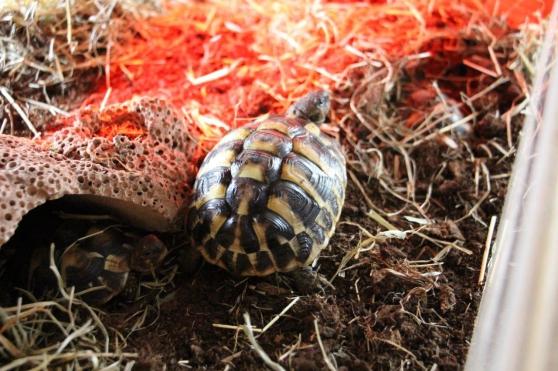 Annonce occasion, vente ou achat 'vends tortues de terre'