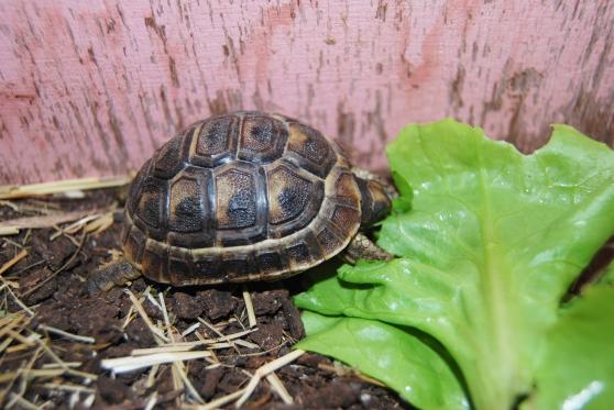 Bébé tortue de terre nés en Aout 2015.