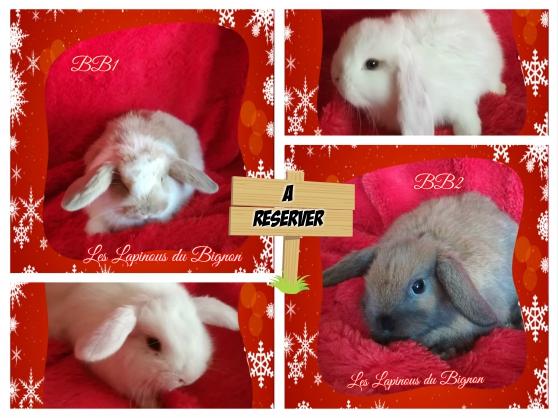 Annonce occasion, vente ou achat 'véritables lapins nains béliers de pure'