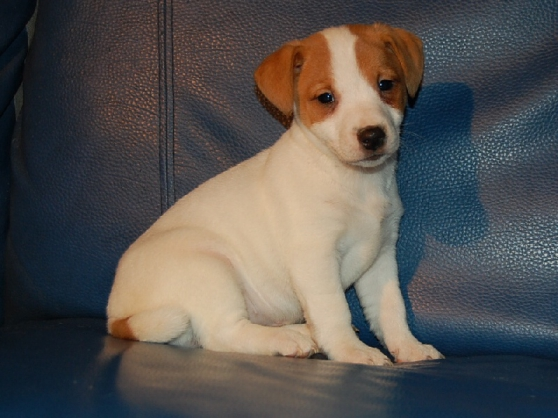 Annonce occasion, vente ou achat 'femelle jack russel'