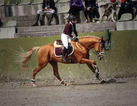 Cheval de sport allemand 11 ans OK - Photo 2