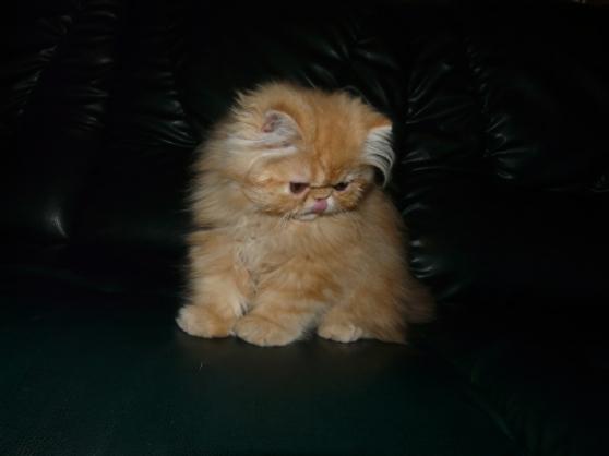 Superbe chaton femelle Type Persan Loof