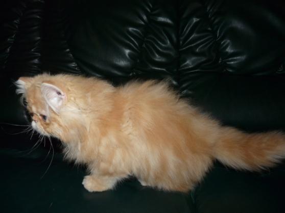 Superbe chaton femelle Type Persan Loof - Photo 2