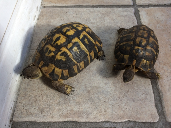 tortues reproducteurs - Annonce gratuite marche.fr