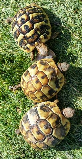 Jeunes tortues Hermann