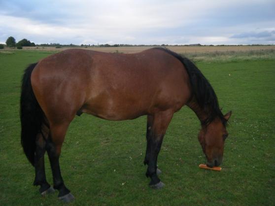 cheval hongre