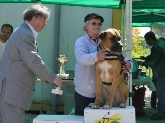 10 chiots type cane corso croisé boxer - Photo 3