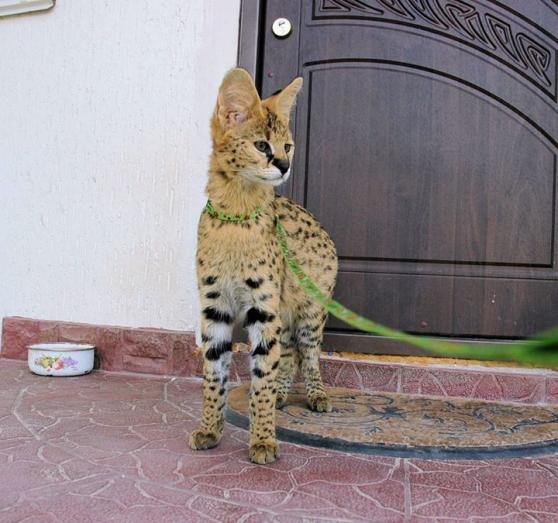 Prêt à aller chatons serval et F1 Savann