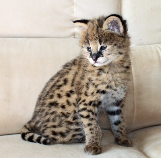 chatons serval disponibles
