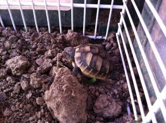 Annonce occasion, vente ou achat 'bébé tortue de terre'