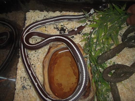 Annonce occasion, vente ou achat 'serpents rois lampropeltis'