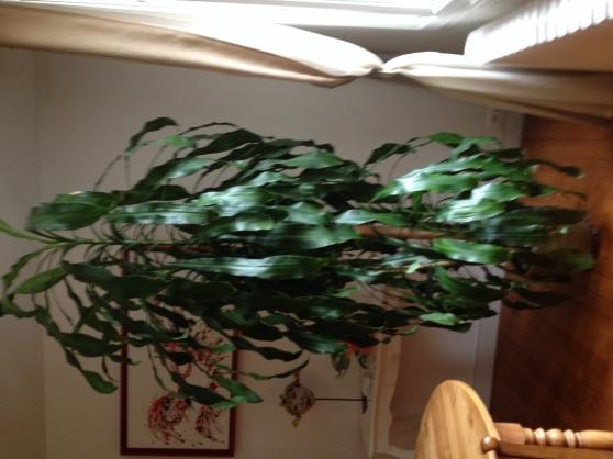 Grande plante d'interieur