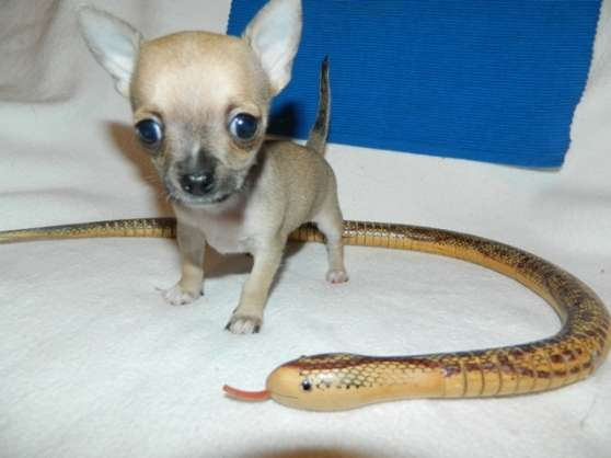 Chiot Chihuahua A Donner Marche Fr