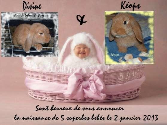 superbes lapins nains béliers pure race