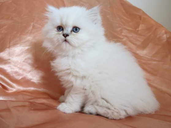 disponible chaton persan - Photo 2