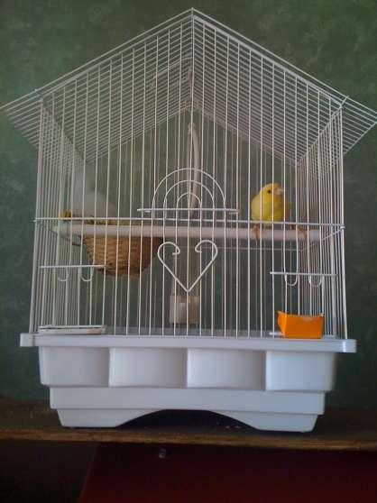 jeune canari avec cage