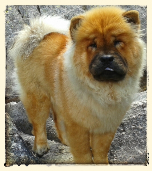 Annonce occasion, vente ou achat 'chowchow femelle sailli'