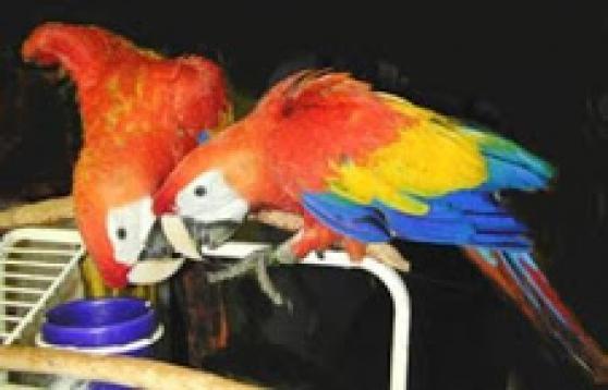 belle paire de perroquets aras écarlates