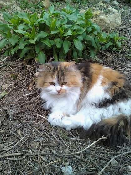 perdu chatte tricolore angora