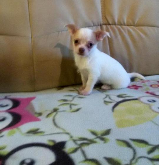 belles Chihuahuas